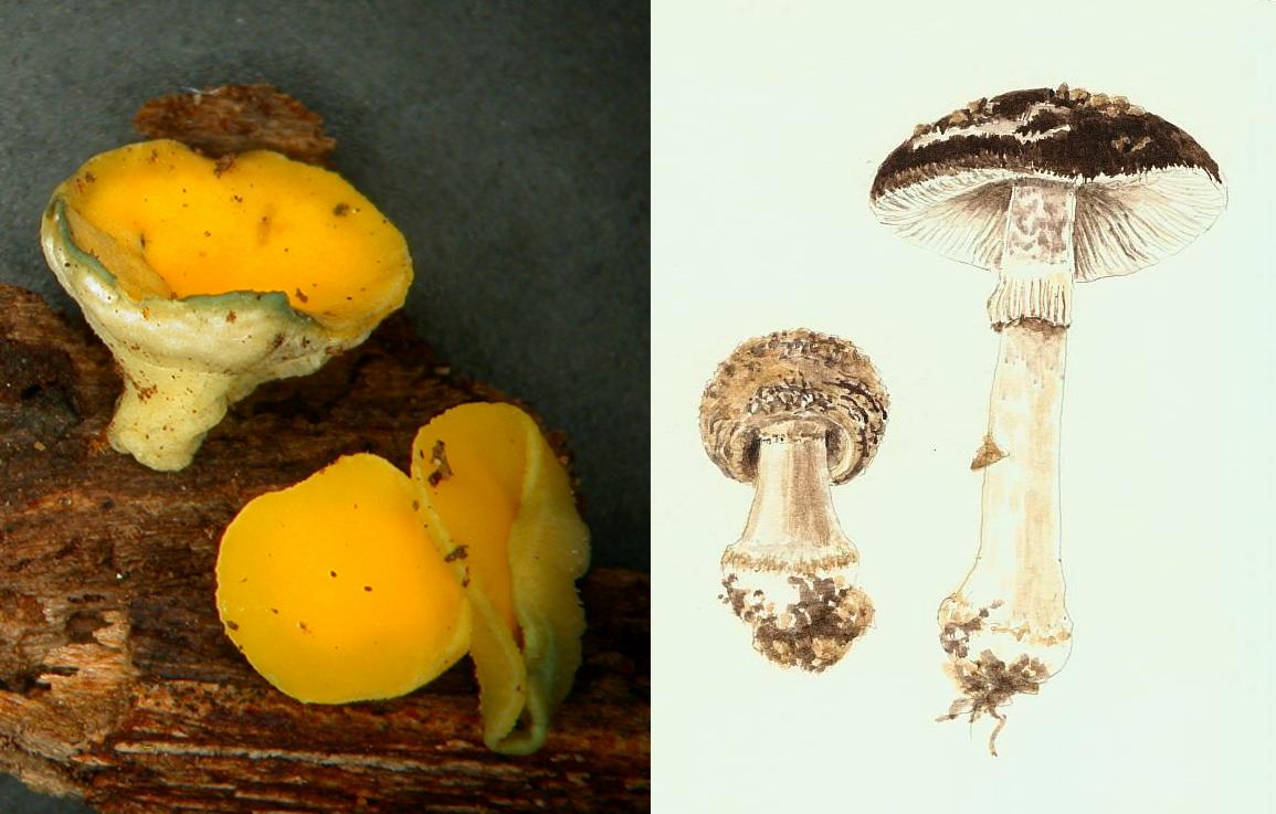 phylogeny-taxonomy-nzfungi